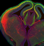 featured image Brain cells capable of 'early-career' switch - neuroinnovations