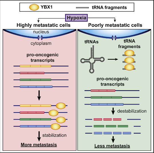 Upon exposure to stress, tRNAs are enzymatically cleaved, yielding distinct classes of tRNA-derived fragments (tRFs), yielding distinct classes of tRFs. We identify a novel class of tRFs derived from tRNAGlu, tRNAAsp, tRNAGly, and tRNATyr that, upon induction, suppress the stability of multiple oncogenic transcripts in breast cancer cells by displacing their 3′ untranslated regions (UTRs) from the RNA-binding protein YBX1. This mode of post-transcriptional silencing is sequence specific, as these fragments all share a common motif that matches the YBX1 recognition sequence. Loss-of-function and gain-of-function studies, using anti-sense locked-nucleic acids (LNAs) and synthetic RNA mimetics, respectively, revealed that these fragments suppress growth under serum-starvation, cancer cell invasion, and metastasis by breast cancer cells. Highly metastatic cells evade this tumor-suppressive pathway by attenuating the induction of these tRFs. Our findings reveal a tumor-suppressive role for specific tRNA-derived fragments and describe a molecular mechanism for their action. This transcript displacement-based mechanism may generalize to other tRNA, ribosomal-RNA, and sno-RNA fragments.  Endogenous tRNA-Derived Fragments Suppress Breast Cancer Progression via YBX1 Displacement.   Tavazoie et al 2015.