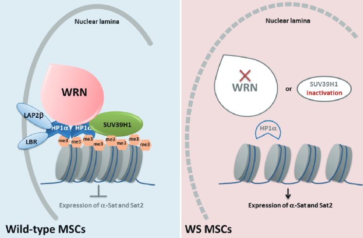 A  proposed  model  describing  a  role  of  WRN  in  safeguarding  heterochromatin  stability.  Left, in wild-type MSCs, WRN protein forms a complex with the  heterochromatin components SUV39H1 and HP1α, which together associates with H3K9me3-enriched heterochromatin tethered to nuclear envelope regions. Right, the complex was destroyed with WRN loss or SUV39H1 inactivation, which resulted in destabilization of heterochromatin, disorganization of nuclear lamina, and induced transcription from centromeric α-Sat and Sat2 sequences, which may collectively drive premature MSC aging.  A Werner syndrome stem cell model unveils heterochromatin alterations as a driver of human aging.  Belmonte et al 2015.
