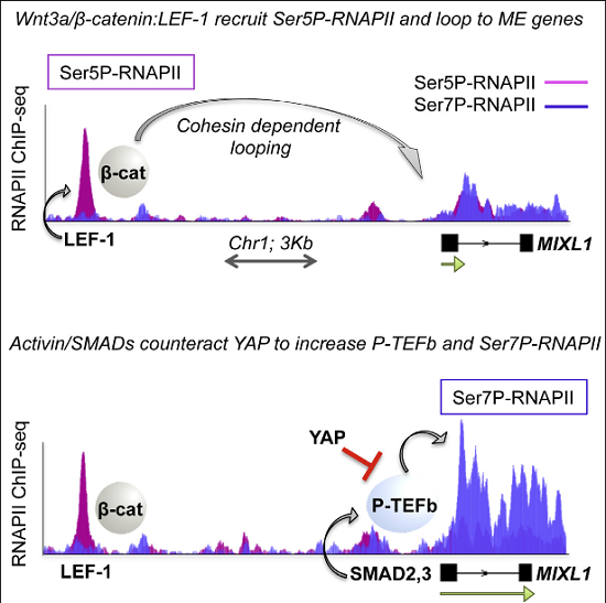The Wnt3a/β-catenin and Activin/SMAD2,3 signaling pathways synergize to induce endodermal differentiation of human embryonic stem cells; however, the underlying mechanism is not well understood. Using ChIP-seq and GRO-seq analyses, we show here that Wnt3a-induced β-catenin:LEF-1 enhancers recruit cohesin to direct enhancer-promoter looping and activate mesendodermal (ME) lineage genes. Moreover, we find that LEF-1 and other hESC enhancers recruit RNAPII complexes (eRNAPII) that are highly phosphorylated at Ser5, but not Ser7. Wnt3a signaling further increases Ser5P-RNAPII at LEF-1 sites and ME gene promoters, indicating that elongation remains limiting. However, subsequent Activin/SMAD2,3 signaling selectively increases transcription elongation, P-TEFb occupancy, and Ser7P-RNAPII levels at these genes. Finally, we show that the Hippo regulator, YAP, functions with TEAD to regulate binding of the NELF negative elongation factor and block SMAD2,3 induction of ME genes. Thus, the Wnt3a/β-catenin and Activin/SMAD2,3 pathways act in concert to counteract YAP repression and upregulate ME genes during early hESC differentiation.  SMADs and YAP Compete to Control Elongation of β-Catenin:LEF-1-Recruited RNAPII during hESC Differentiation.  Jones et al 2015.
