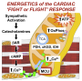 ft Calcium uptake by mitochondria makes heart beat harder in fight-or-flight response - healthinnovations