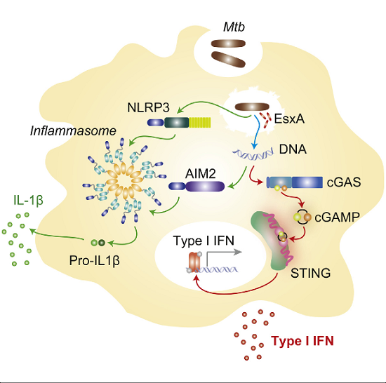 immune system and tuberculosis The balance between these regulators and tnf/ifn-γ may determine if the immune system can eradicate m tuberculosis with minimum pathology an excessive inflammatory or immune response to m.