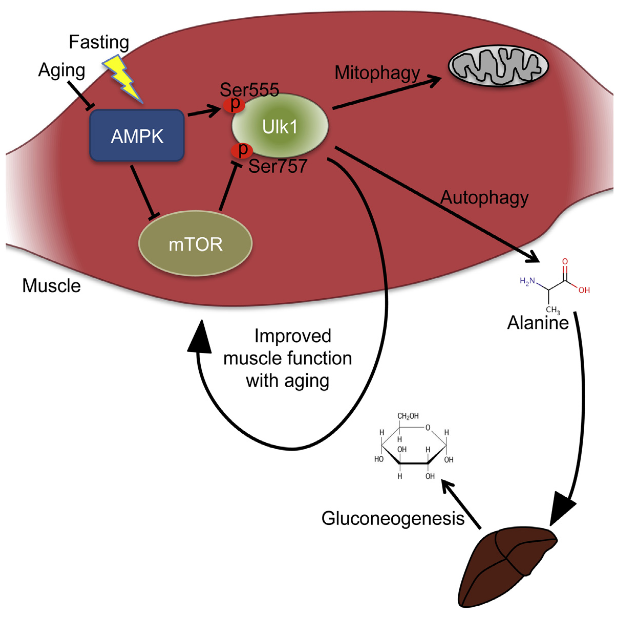 The AMP-activated protein kinase (AMPK) activates autophagy, but its role in aging and fasting-induced muscle function has not been defined. Here we report that fasting mice lacking skeletal muscle AMPK (AMPK-MKO) results in hypoglycemia and hyperketosis. This is not due to defective fatty acid oxidation, but instead is related to a block in muscle proteolysis that leads to reduced circulating levels of alanine, an essential amino acid required for gluconeogenesis. Markers of muscle autophagy including phosphorylation of Ulk1 Ser555 and Ser757 and aggregation of RFP-LC3 puncta are impaired. Consistent with impaired autophagy, aged AMPK-MKO mice possess a significant myopathy characterized by reduced muscle function, mitochondrial disease, and accumulation of the autophagy/mitophagy proteins p62 and Parkin. These findings establish an essential requirement for skeletal muscle AMPK-mediated autophagy in preserving blood glucose levels during prolonged fasting as well as maintaining muscle integrity and mitochondrial function during aging.  AMPK Activation of Muscle Autophagy Prevents Fasting-Induced Hypoglycemia and Myopathy during Aging.   Steinberg et al 2015.