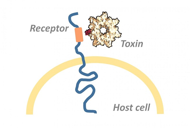 How Toxins Overcome the Cell Membrane .  Bacterial toxins usually exert their full deadly effect in the host cell's interior. The toxins overcome the cell membrane by binding to a surface receptor, which conveys them into the cell's interior.  Credit:  © Panagiotis Papatheodorou