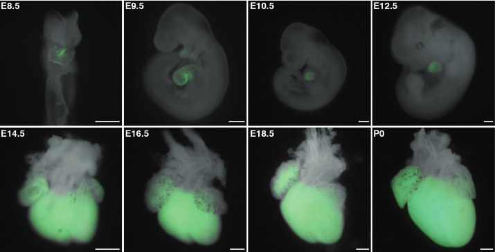 Hopx expression during cardiogenesis.  GFP expression in Hopx 3XFlag/+ embryos representing endogenous Hopx expression at indicated time points.  Integration of Bmp and Wnt signaling by Hopx specifies commitment of cardiomyoblasts.  Epstein et al 2015.