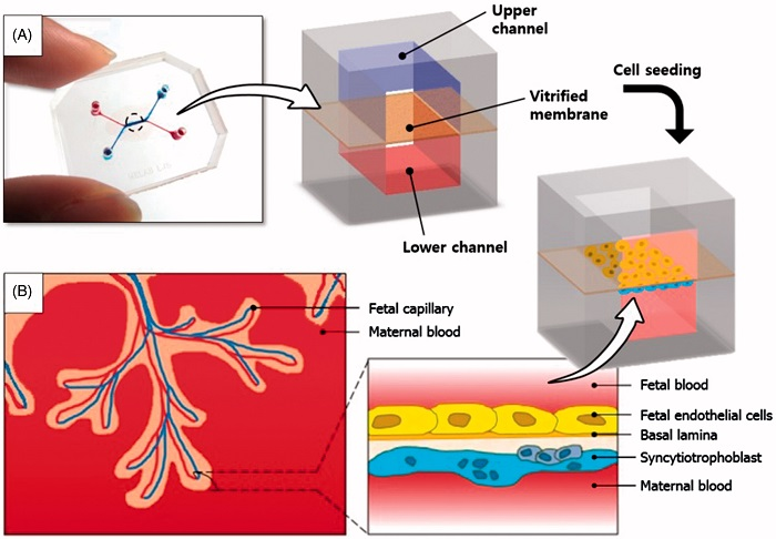A placenta-on-a-chip microdevice: (A) The microengineered device is composed of the upper (blue) and lower (red) PDMS chambers separated by a vitrified collagen membrane. (B) Endothelial cells and trophoblasts are co-cultured in close apposition on the opposite sides of the intervening membrane to form a microengineered placental barrier in the placenta-on-a-chip device.  Placenta-on-a-chip: a novel platform to study the biology of the human placenta.  Huh et al 2015.