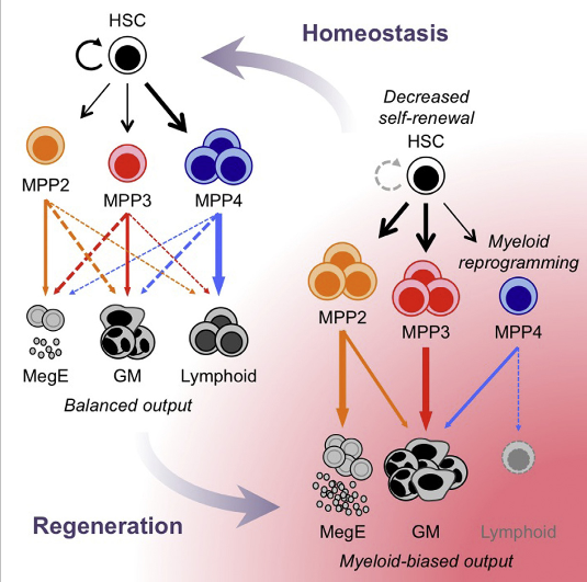 Despite great advances in understanding the mechanisms underlying blood production, lineage specification at the level of multipotent progenitors (MPPs) remains poorly understood. Here, we show that MPP2 and MPP3 are distinct myeloid-biased MPP subsets that work together with lymphoid-primed MPP4 cells to control blood production. We find that all MPPs are produced in parallel by hematopoietic stem cells (HSCs), but with different kinetics and at variable levels depending on hematopoietic demands. We also show that the normally rare myeloid-biased MPPs are transiently overproduced by HSCs in regenerating conditions, hence supporting myeloid amplification to rebuild the hematopoietic system. This shift is accompanied by a reduction in self-renewal activity in regenerating HSCs and reprogramming of MPP4 fate toward the myeloid lineage. Our results support a dynamic model of blood development in which HSCs convey lineage specification through independent production of distinct lineage-biased MPP subsets that, in turn, support lineage expansion and differentiation.  Functionally Distinct Subsets of Lineage-Biased Multipotent Progenitors Control Blood Production in Normal and Regenerative Conditions.   Passegué  et al 2015.