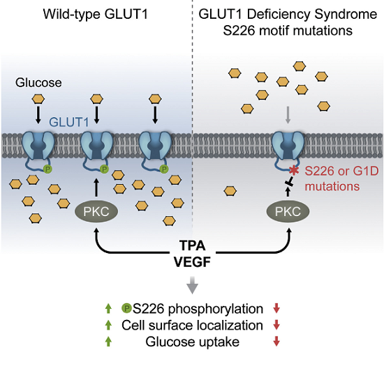 Researchers identify cellular regulator of glucose transport in the human body. | Healthinnovations