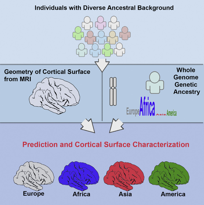 Knowing how the human brain is shaped by migration and admixture is a critical step in studying human evolution [ 1, 2 ], as well as in preventing the bias of hidden population structure in brain research [ 3, 4 ]. Yet, the neuroanatomical differences engendered by population history are still poorly understood. Most of the inference relies on craniometric measurements, because morphology of the brain is presumed to be the neurocranium's main shaping force before bones are fused and ossified [ 5 ]. Although studies have shown that the shape variations of cranial bones are consistent with population history [ 6–8 ], it is unknown how much human ancestry information is retained by the human cortical surface. In our group's previous study, we found that area measures of cortical surface and total brain volumes of individuals of European descent in the United States correlate significantly with their ancestral geographic locations in Europe [ 9 ]. Here, we demonstrate that the three-dimensional geometry of cortical surface is highly predictive of individuals' genetic ancestry in West Africa, Europe, East Asia, and America, even though their genetic background has been shaped by multiple waves of migratory and admixture events. The geometry of the cortical surface contains richer information about ancestry than the areal variability of the cortical surface, independent of total brain volumes. Besides explaining more ancestry variance than other brain imaging measurements, the 3D geometry of the cortical surface further characterizes distinct regional patterns in the folding and gyrification of the human brain associated with each ancestral lineage.  Modeling the 3D Geometry of the Cortical Surface with Genetic Ancestry.  Dale et al 2015.