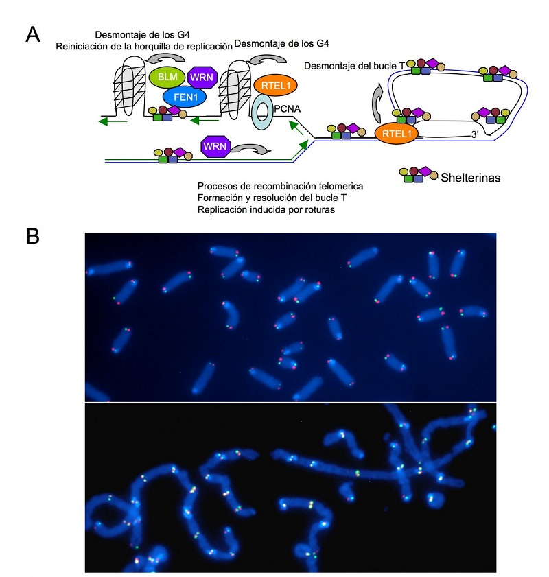 A) Shelterin recruits accessory proteins to the telomeres that facilitate the complex process of telomere copying and maintenance associated with cell multiplication. B) Representative images of metaphase chromosomes of cells with functional telomeres (top) and dysfunctional telomeres that result in chromosomal fusions (bottom).  Credit: CNIO.