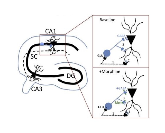 Microcircuitry in the Brain.  The mu-opioid receptor role in the hippocampal circuit is shown.  Credit:  Adapted from the journal Neuropharmacology.