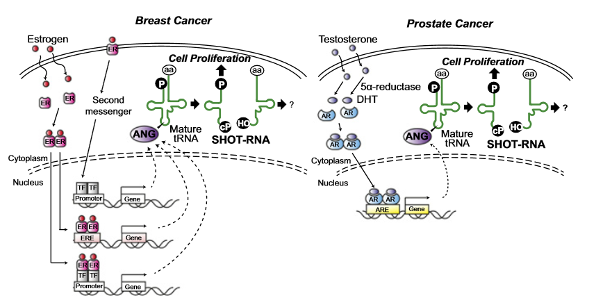 SHOT-RNA expressions in breast cancer patient tissues.  A proposed model for SHOT-RNA involvement in sex hormone-dependent breast and prostate cancers.  Sex hormone-dependent tRNA halves enhance cell proliferation in breast and prostate cancers.  Kirinoa et al 2015.