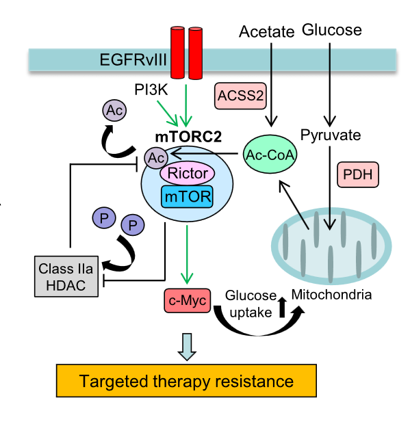 Persistent Rictor acetylation renders GBM cells resistant to EGFR-, PI3K-, and AKT-targeted therapies.  mTORC2 forms an autoactivation loop (i) by promoting glucose uptake and acetyl-CoA production through its downstream pathways of c-Myc (19) and (ii) by inactivating class IIa HDACs, which deacetylate Rictor and suppress mTORC2.  By these mechanisms, GBM cells with activated mTORC2 are resistant to targeted therapies toward their upstream stimulators including EGFR and PI3K as well as their downstream effector AKT.  Glucose-dependent acetylation of Rictor promotes targeted cancer therapy resistance.  Mischel et al 2015.