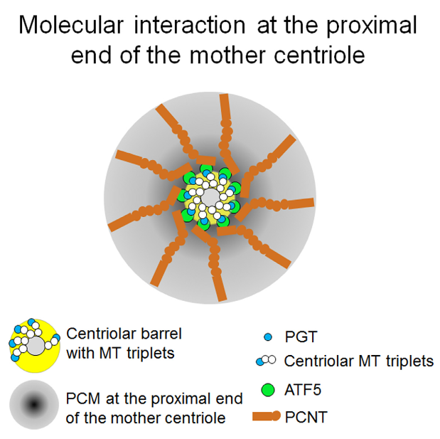 Although it is known that the centrioles play instructive roles in pericentriolar material (PCM) assembly and that the PCM is essential for proper centriole formation, the mechanism that governs centriole-PCM interaction is poorly understood. Here, we show that ATF5 forms a characteristic 9-fold symmetrical ring structure in the inner layer of the PCM outfitting the proximal end of the mother centriole. ATF5 controls the centriole-PCM interaction in a cell-cycle- and centriole-age-dependent manner. Interaction of ATF5 with polyglutamylated tubulin (PGT) on the mother centriole and with PCNT in the PCM renders ATF5 as a required molecule in mother centriole-directed PCM accumulation and in PCM-dependent centriole formation. ATF5 depletion blocks PCM accumulation at the centrosome and causes fragmentation of centrioles, leading to the formation of multi-polar mitotic spindles and genomic instability. These data show that ATF5 is an essential structural protein that is required for the interaction between the mother centriole and the PCM.  ATF5 Connects the Pericentriolar Materials to the Proximal End of the Mother Centriole.  Liu et al 2015