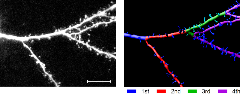 Dendritic development in animals transiently expressing DISC1cc.  Example of L2/3 cell dendrites showing spines and dendritic order. Scale bar=10 microns. Growth  in  dendrites  charted  as  an  increase  in  internodal  distances.  The  change  in  median  internodal  distance  is  given  as  percentage  of  the  internodal distance at the start of the period.  Adult cortical plasticity depends on an early postnatal critical period.   Hardingham et al 2015.