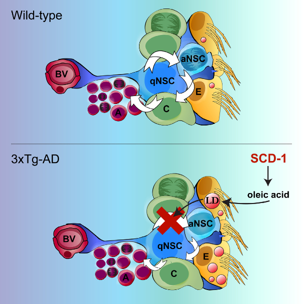 Lipid metabolism is fundamental for brain development and function, but its roles in normal and pathological neural stem cell (NSC) regulation remain largely unexplored. Here, we uncover a fatty acid-mediated mechanism suppressing endogenous NSC activity in Alzheimer's disease (AD). We found that postmortem AD brains and triple-transgenic Alzheimer's disease (3xTg-AD) mice accumulate neutral lipids within ependymal cells, the main support cell of the forebrain NSC niche. Mass spectrometry and microarray analyses identified these lipids as oleic acid-enriched triglycerides that originate from niche-derived rather than peripheral lipid metabolism defects. In wild-type mice, locally increasing oleic acid was sufficient to recapitulate the AD-associated ependymal triglyceride phenotype and inhibit NSC proliferation. Moreover, inhibiting the rate-limiting enzyme of oleic acid synthesis rescued proliferative defects in both adult neurogenic niches of 3xTg-AD mice. These studies support a pathogenic mechanism whereby AD-induced perturbation of niche fatty acid metabolism suppresses the homeostatic and regenerative functions of NSCs.  Aberrant Lipid Metabolism in the Forebrain Niche Suppresses Adult Neural Stem Cell Proliferation in an Animal Model of Alzheimer's Disease.  Fernandes et al 2015.