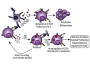 ft UC Davis team finds early inflammatory response paralyzes T cells - healthinnovations