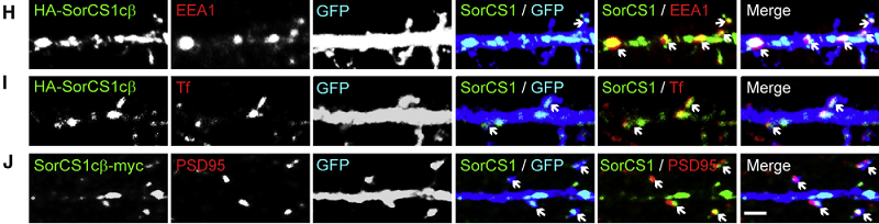 SorCS1 localizes to endosomal compartments and excitatory synapses. (H) HA-SorCS1cb (green) coexpressed with GFP (blue) colocalizes with EEA1 (red) in dendrites and spines of hippocampal neurons (arrows). (I) HA-SorCS1cb colocalizes with Alexa 568-Tf (red) in dendrites and spines (arrows). (J) SorCS1cb-myc shows a partial overlap with postsynaptic excitatory marker PSD95 (red) in dendritic spines (arrows). The Sorting Receptor SorCS1 Regulates Trafficking of Neurexin and AMPA Receptors. Yates et al 2015.