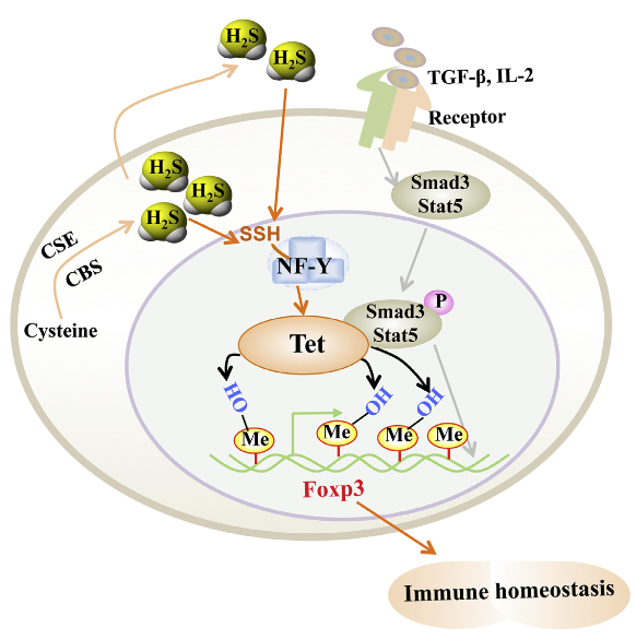 Regulatory T (Treg) cells are essential for maintenance of immune homeostasis. Here we found that hydrogen sulfide (H2S) was required for Foxp3+ Treg cell differentiation and function and that H2S deficiency led to systemic autoimmune disease. H2S maintained expression of methylcytosine dioxygenases Tet1 and Tet2 by sulfhydrating nuclear transcription factor Y subunit beta (NFYB) to facilitate its binding to Tet1 and Tet2 promoters. Transforming growth factor-β (TGF-β)-activated Smad3 and interleukin-2 (IL-2)-activated Stat5 facilitated Tet1 and Tet2 binding to Foxp3. Tet1 and Tet2 catalyzed conversion of 5-methylcytosine (5mC) to 5-hydroxymethylcytosine (5hmC) in Foxp3 to establish a Treg-cell-specific hypomethylation pattern and stable Foxp3 expression. Consequently, Tet1 and Tet2 deletion led to Foxp3 hypermethylation, impaired Treg cell differentiation and function, and autoimmune disease. Thus, H2S promotes Tet1 and Tet2 expression, which are recruited to Foxp3 by TGF-β and IL-2 signaling to maintain Foxp3 demethylation and Treg-cell-associated immune homeostasis. Hydrogen Sulfide Promotes Tet1- and Tet2-Mediated Foxp3 Demethylation to Drive Regulatory T Cell Differentiation and Maintain Immune Homeostasis. Shi et al 2015.