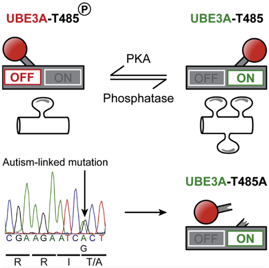 Deletion of UBE3A causes the neurodevelopmental disorder Angelman syndrome (AS), while duplication or triplication of UBE3A is linked to autism. These genetic findings suggest that the ubiquitin ligase activity of UBE3A must be tightly maintained to promote normal brain development. Here, we found that protein kinase A (PKA) phosphorylates UBE3A in a region outside of the catalytic domain at residue T485 and inhibits UBE3A activity toward itself and other substrates. A de novo autism-linked missense mutation disrupts this phosphorylation site, causing enhanced UBE3A activity in vitro, enhanced substrate turnover in patient-derived cells, and excessive dendritic spine development in the brain. Our study identifies PKA as an upstream regulator of UBE3A activity and shows that an autism-linked mutation disrupts this phosphorylation control. Moreover, our findings implicate excessive UBE3A activity and the resulting synaptic dysfunction to autism pathogenesis.  An Autism-Linked Mutation Disables Phosphorylation Control of UBE3A.  Zylka et al 2015.