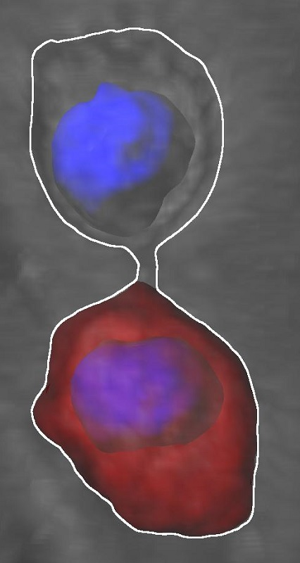 Dividing neural stem cells establish a diffusion barrier. It participates in the asymmetric segregation of aging factors such as ubiquitinated, damaged proteins (red) during cell division (DNA blue). The barrier ensures proper neural stem cell proliferation. Credit: UZH.