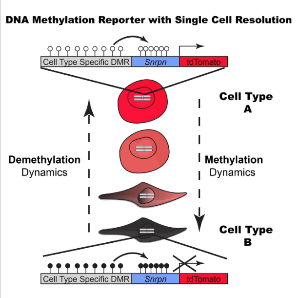 Mammalian DNA methylation plays an essential role in development. To date, only snapshots of different mouse and human cell types have been generated, providing a static view on DNA methylation. To enable monitoring of methylation status as it changes over time, we establish a reporter of genomic methylation (RGM) that relies on a minimal imprinted gene promoter driving a fluorescent protein. We show that insertion of RGM proximal to promoter-associated CpG islands reports the gain or loss of DNA methylation. We further utilized RGM to report endogenous methylation dynamics of non-coding regulatory elements, such as the pluripotency-specific super enhancers of Sox2 and miR290. Loci-specific DNA methylation changes and their correlation with transcription were visualized during cell-state transition following differentiation of mouse embryonic stem cells and during reprogramming of somatic cells to pluripotency. RGM will allow the investigation of dynamic methylation changes during development and disease at single-cell resolution.  Tracing Dynamic Changes of DNA Methylation at Single-Cell Resolution.  Rudolf Jaenisch et al 2015.