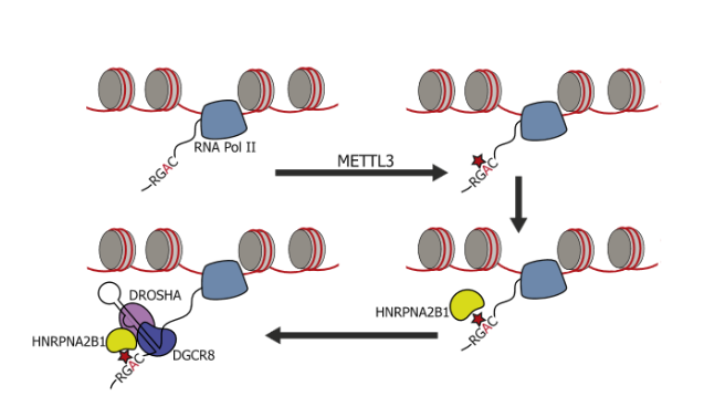 HNRNPA2B1 Is a Mediator of the m6A Mark.  Schematic representation of the nuclear role of HNRNPA2B1 in pri-miRNA processing. HNRNPA2B1 is shown as a reader of the m6A methylation mark. Pri-miRNA processing is depicted in the model. The red star represents m6A mark on RNA, and the yellow shape represents the HNRNPA2B1 RNA-binding protein.  HNRNPA2B1 Is a Mediator of m6A-Dependent Nuclear RNA Processing Events.  Tavazoie et al 2015.
