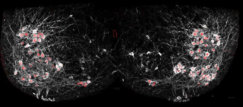 Salk scientists were able to selectively add fluorescent proteins to the nuclei of motor neurons (red) using cutting-edge genetic techniques to show how cells in the spinal cord synchronize many neurons at once to allow complex movements. Image: Courtesy of the Salk Institute for Biological Studies.