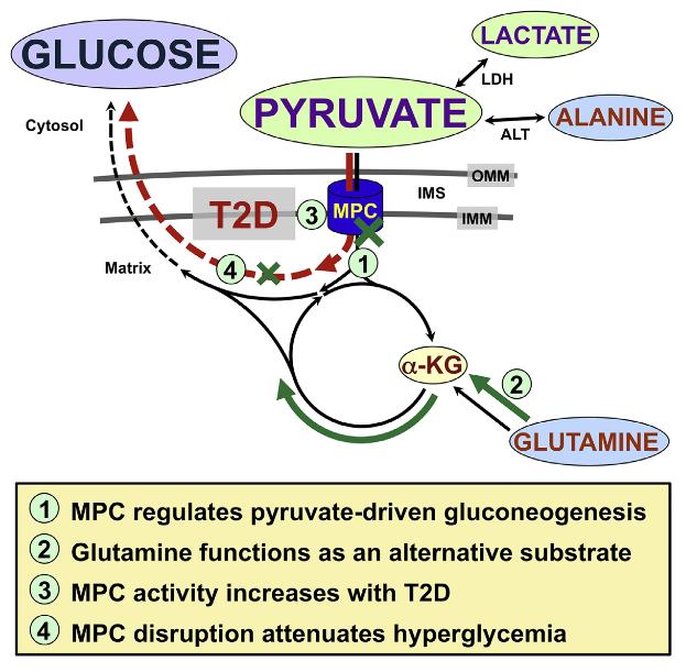 diabetes glucogénesis