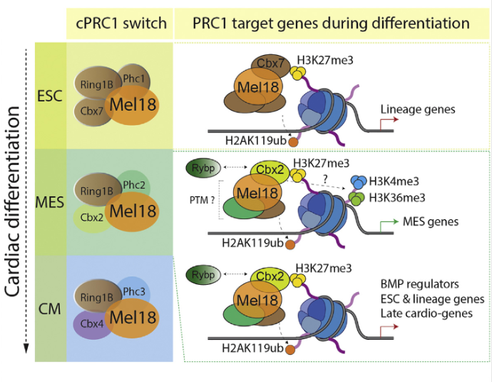 Polycomb complexes (PRC1 and PRC2) are essential regulators of epigenetic gene silencing in embryonic and adult stem cells. Emerging evidence suggests that the core subunit composition regulates distinct biological processes, yet little is known about the mechanistic underpinnings of how differently composed Polycomb complexes instruct and maintain cell fate. Here we find that Mel18, also known as Pcgf2 and one of six Pcgf paralogs, uniquely regulates PRC1 to specify mesoderm cell fate in embryonic stem cells. Mechanistically, Mel18 functions as a classical Polycomb protein during early cardiac mesoderm differentiation by repressing pluripotency, lineage specification, late cardiac differentiation, and negative regulators of the BMP pathway. However, Mel18 also positively regulates expression of key mesoderm transcription factors, revealing an unexpected function of Mel18 in gene activation during cardiac differentiation. Taken together, our findings reveal that Mel18 is required to specify PRC1 function in both a context- and stage-specific manner.  Polycomb Regulates Mesoderm Cell Fate-Specification in Embryonic Stem Cells through Activation and Repression Mechanisms.  Morey et al 2015.