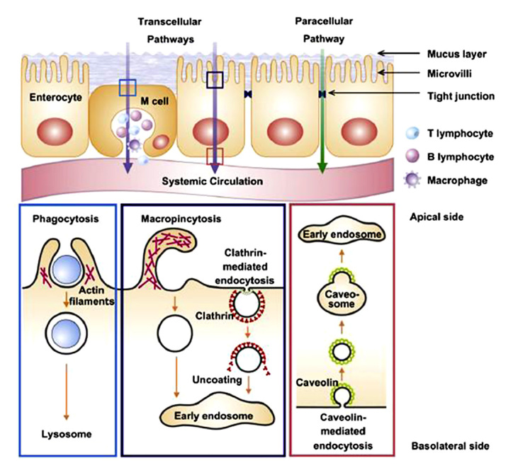 Pathways for insulin nanoparticle translocation through the intestinal epithelium. Schematic focus on phagocytosis, macro-pinocytosis, and caveolin-mediated endocytosis. Reproduced with permission from Biomaterials.  Oral Insulin Delivery: How Far Are We?.  Sarmento et al 2013.