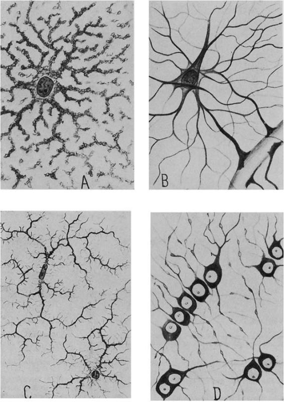 Del Rio-Hortega's four types of glia. A: Gray matter protoplasmic neuroglia. B: White matter fibrous neuroglia. C: Microglia. D: White matter interfascicular glia (oligodendrocytes) (Somjen 1988, Fig. 4).