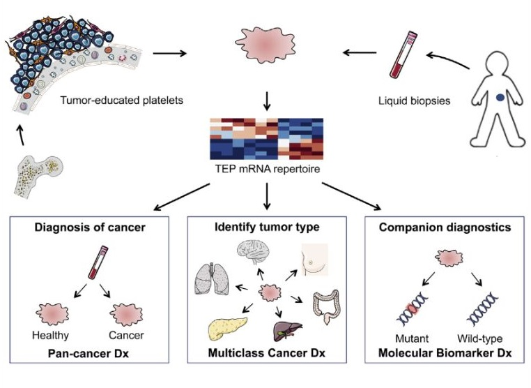 """Tumor-educated blood platelets (TEPs) are implicated as central players in the systemic and local responses to tumor growth, thereby altering their RNA profile. We determined the diagnostic potential of TEPs by mRNA sequencing of 283 platelet samples. We distinguished 228 patients with localized and metastasized tumors from 55 healthy individuals with 96% accuracy. Across six different tumor types, the location of the primary tumor was correctly identified with 71% accuracy. Also, MET or HER2-positive, and mutant KRAS, EGFR, or PIK3CA tumors were accurately distinguished using surrogate TEP mRNA profiles. Our results indicate that blood platelets provide a valuable platform for pan-cancer, multiclass cancer, and companion diagnostics, possibly enabling clinical advances in blood-based """"liquid biopsies"""". RNA-Seq of Tumor-Educated Platelets Enables Blood-Based Pan-Cancer, Multiclass, and Molecular Pathway Cancer Diagnostics. Wurdinger et al 2015."""