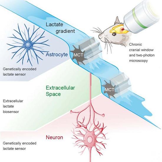 ft Lactate for brain energy - neuroinnovations