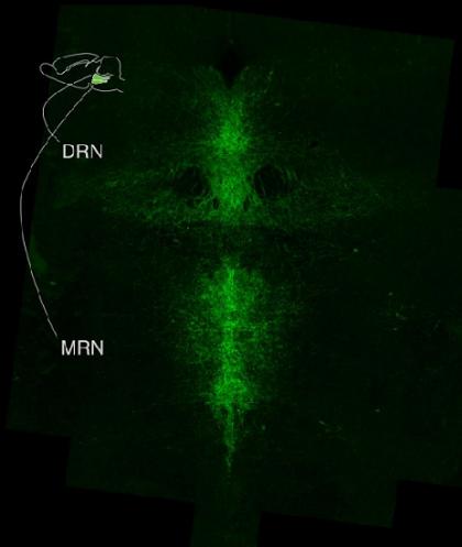 ft Yin and yang of serotonin neurons in mood regulation - neuroinnovations