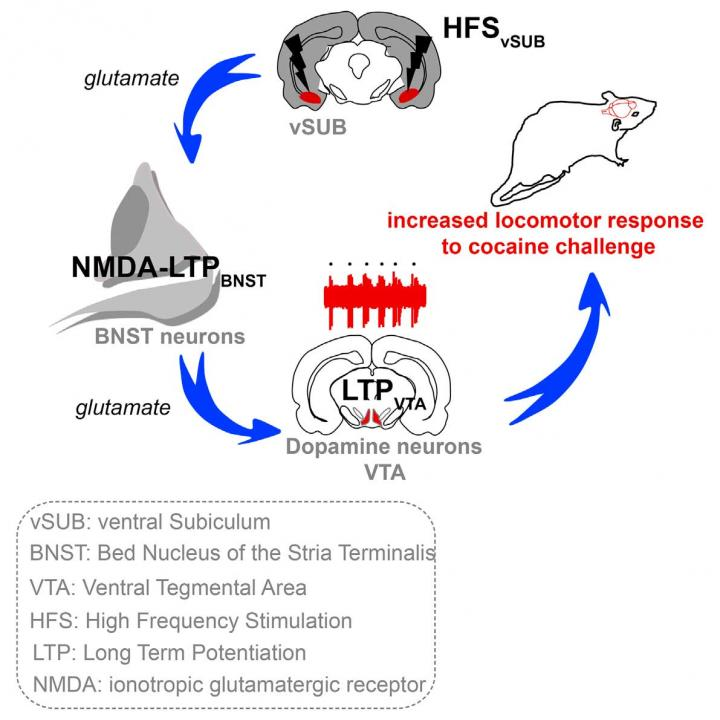 Graphical abstract depicts discovery that the ventral subiculum alters the excitability of dopamine neurons in vivo via a relay within the bed nucleus of the stria terminalis, revealing a neuronal circuit controlling behavioral effects of cocaine. Credit: Glangetas and Fois et al./Cell Reports 2015.