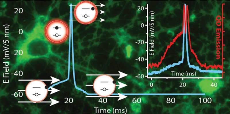 Recruiting luminescent nanoparticles to image brain function, scientists at the US Naval Research Laboratory (NRL) are on pace to develop the next generation of functional materials that could enable the mapping of the complex neural connections in the brain. The intrinsic properties of quantum dots (QDs) and the growing ability to interface them controllably with living cells has far-reaching potential applications in probing cellular processes such as membrane action potential. The ultimate goal is to better understand how the billions of neurons in the brain communicate with one another during normal brain function or dysfunction as result of injury or disease.  Credit: Reprinted Courtesy the American Chemical Society - 2015.