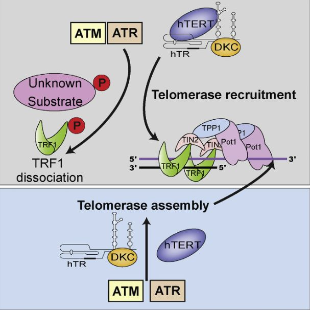 The yeast homologs of the ATM and ATR DNA damage response kinases play key roles in telomerase-mediated telomere maintenance, but the role of ATM/ATR in the mammalian telomerase pathway has been less clear. Here, we demonstrate the requirement for ATM and ATR in the localization of telomerase to telomeres and telomere elongation in immortal human cells. Stalled replication forks increased telomerase recruitment in an ATR-dependent manner. Furthermore, increased telomerase recruitment was observed upon phosphorylation of the shelterin component TRF1 at an ATM/ATR target site (S367). This phosphorylation leads to loss of TRF1 from telomeres and may therefore increase replication fork stalling. ATM and ATR depletion reduced assembly of the telomerase complex, and ATM was required for telomere elongation in cells expressing POT1ΔOB, an allele of POT1 that disrupts telomere-length homeostasis. These data establish that human telomerase recruitment and telomere elongation are modulated by DNA-damage-transducing kinases.  ATM and ATR Signaling Regulate the Recruitment of Human Telomerase to Telomeres.  Bryan et al 2015.