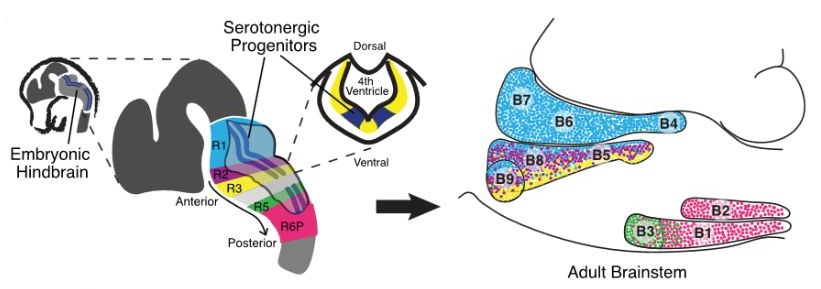 Anatomical Distribution of Genetically Fate-Mapped 5HT Neuron Sublineages and Unsupervised Clustering of Lineage- and Anatomy-Defined Transcriptomes. (A) Schematic of mouse embryonic hindbrain (left) with serotonergic primordium marked in dark blue; (center) rhombomeric domains from which 5HT neurons arise (R1, R2, R3, R5, and R6P) shaded in different colors (note these same colors are used throughout all figures); (right) their mature anatomical distribution presented in a sagittal brainstem schematic with labeled B1–B9 nuclei. Multi-Scale Molecular Deconstruction of the Serotonin Neuron System. Okaty et al 2015.