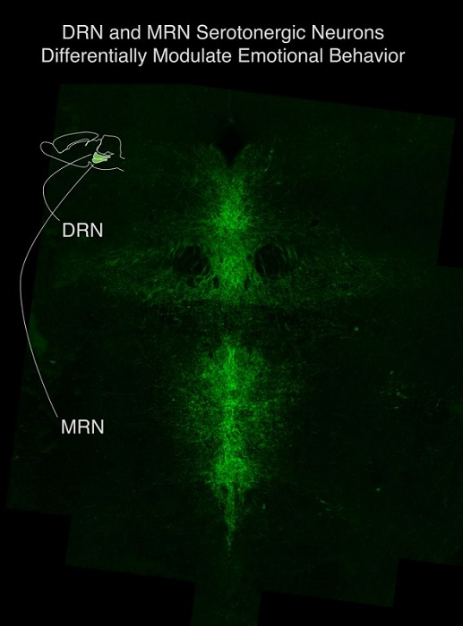 Serotonergic neurons in the dorsal raphe nucleus (DRN) and median raphe nucleus (MRN) of the brainstem differentially modulate emotional behavior.  Credit: Columbia University Department of Psychiatry.