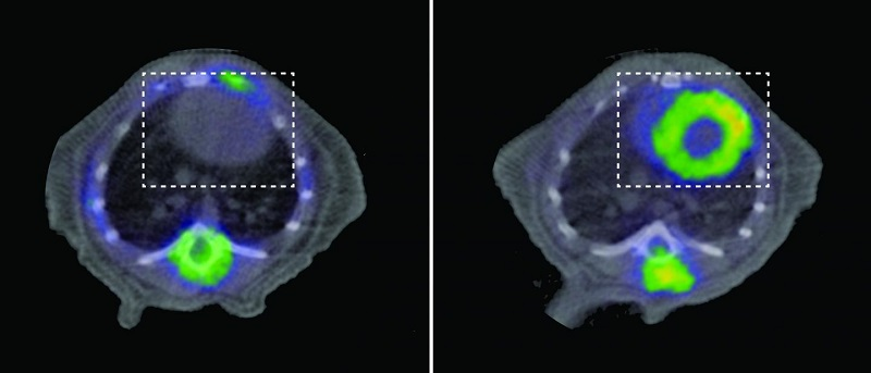 PET scans of a healthy animal (left) and a mouse with dilated cardiomyopathy and heart failure due to lack of the protein YME1 (right). In both images, the heart is visible within the area outlined by the discontinuous line. The heart of the mouse with the disease shows intense uptake of glucose (yellow). Credit: CNIC.