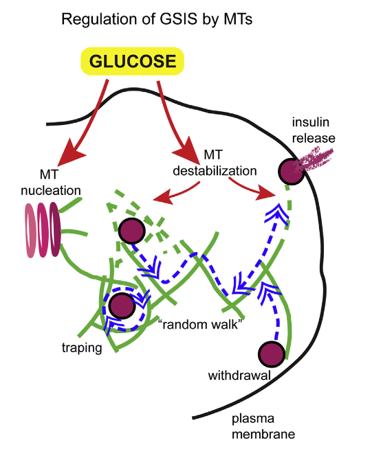 A Model of the Rheostat Function of MTs in b Cells Dense MTs trap insulin granules in the cell center and promote their random walk. Non-directional granule movement leads to rapid granule withdrawal from the cell periphery, balanced with granule arrival. Glucose stimuli trigger both MT nucleation and destabilization. MT destabilization in the cell center reduces trapping. MT destabilization at the cell periphery decreases frequency of withdrawal and leads to free diffusion of detached granules, allowing for their docking. Enhanced MT nucleation at the Golgi balances MT destabili- zation, leading to fine rheostat regulation of granule availability for release. Microtubules Negatively Regulate Insulin Secretion in Pancreatic β Cells. Kaverina et al 2015.