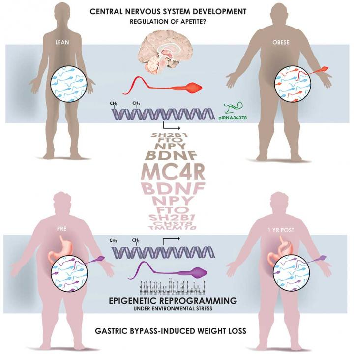 This visual abstract shows how spermatozoa from obese men carry a distinct epigenetic signature compared to lean men, in particular at genes controlling brain development and function. The sperm methylome is dynamically remodeled after gastric-bypass-induced weight loss, notably at gene regions implicated in the central control of appetite.  Credit: Donkin and Versteyhe et al./Cell Metabolism 2015.
