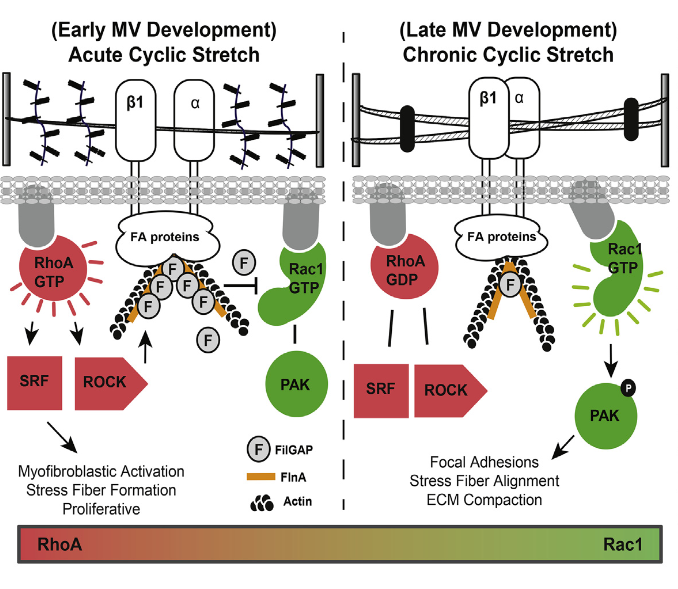 During valvulogenesis, globular endocardial cushions elongate and remodel into highly organized thin fibrous leaflets. Proper regulation of this dynamic process is essential to maintain unidirectional blood flow as the embryonic heart matures. In this study, we tested how mechanosensitive small GTPases, RhoA and Rac1, coordinate atrioventricular valve (AV) differentiation and morphogenesis. RhoA activity and its regulated GTPase-activating protein FilGAP are elevated during early cushion formation but decreased considerably during valve remodeling. In contrast, Rac1 activity was nearly absent in the early cushions but increased substantially as the valve matured. Using gain- and loss-of-function assays, we determined that the RhoA pathway was essential for the contractile myofibroblastic phenotype present in early cushion formation but was surprisingly insufficient to drive matrix compaction during valve maturation. The Rac1 pathway was necessary to induce matrix compaction in vitro through increased cell adhesion, elongation, and stress fiber alignment. Facilitating this process, we found that acute cyclic stretch was a potent activator of RhoA and subsequently downregulated Rac1 activity via FilGAP. On the other hand, chronic cyclic stretch reduced active RhoA and downstream FilGAP, which enabled Rac1 activation. Finally, we used partial atrial ligation experiments to confirm in vivo that altered cyclic mechanical loading augmented or restricted cushion elongation and thinning, directly through potentiation of active Rac1 and active RhoA, respectively. Together, these results demonstrate that cyclic mechanical signaling coordinates the RhoA to Rac1 signaling transition essential for proper embryonic mitral valve remodeling.  Cyclic Mechanical Loading Is Essential for Rac1-Mediated Elongation and Remodeling of the Embryonic Mitral Valve.  Butcher et al 2015.