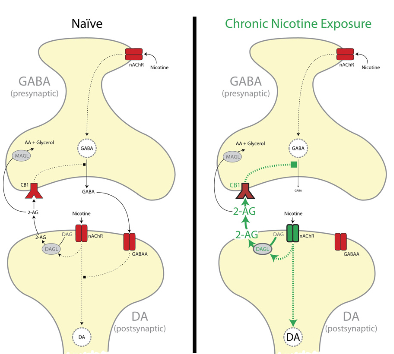 Model of on-demand 2-AG regulation of VTA GABA release. In naïve rats (Left), nicotine activates nAChRs on both DA projection neurons and GABA synapses onto DA neurons in the VTA. Activation of nicotinic acetylcholine receptors (nAChRs) on DA neurons increases DA cell activity and results in modest increases in 2-AG synthesis. Chronic nicotine exposure (Right) increases nAChR-induced postsynaptic DAGL activity, which results in enhanced 2-AG release and CB1-mediated disinhibition of GABA synapses in the VTA. AA, arachidonic acid; DAG, diacylglycerol. Diacylglycerol lipase disinhibits VTA dopamine neurons during chronic nicotine exposure. Parsons et al 2016.