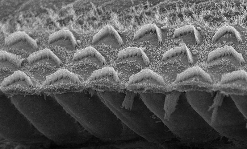 The inverted V's above are sensory hair bundles in the ear, each containing 50 to 100 microvilli tipped with TMC proteins. (Gwenaelle Geleoc & Artur Indzhykulian).