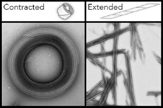 R bodies are pictured in their two different states, contracted and extended, in this microscopic image. Tightly bound in a small coil in lower pH, R bodies extend into sharp tubular structures akin to javelins when pH levels rise, puncturing the membranes of the cells housing them. By tuning R bodies to respond to specific pH levels, they present a new mechanical platform for precisely controlling release of molecules with many potential applications in biotechnology and medicine. Credit: Wyss Institute at Harvard University.