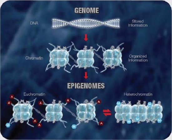 Researchers identify an epigenetic switch for obesity multiple levels of organization control access to the genetic information contained within the dna including malvernweather Gallery