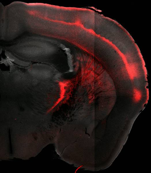 The axons on the higher-order thalamus, which extend into the cortex, were highlighted with a (red) fluorescent protein in order to display the target areas in the cortex (red stripes in the top right of the photo). Only a small section of the brain is shown, and it is clear that a large number of cortical areas are affected. (Picture: R. Mease, M. Metz, A. Groh / Cell Reports, 10.1016/j.celrep.2015.12.026, modified, licensed under CC BY-NC-ND 4.0).