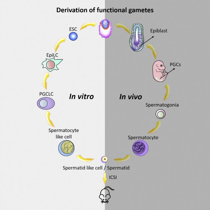 This graphical abstract shows how Zhou et al. generated haploid male gametes from mouse embryonic stem cells that can produce viable and fertile offspring, demonstrating functional reproduction of meiosis in vitro.  Credit: Zhou, Wang, and Yuan et al./Cell Stem Cell 2016.